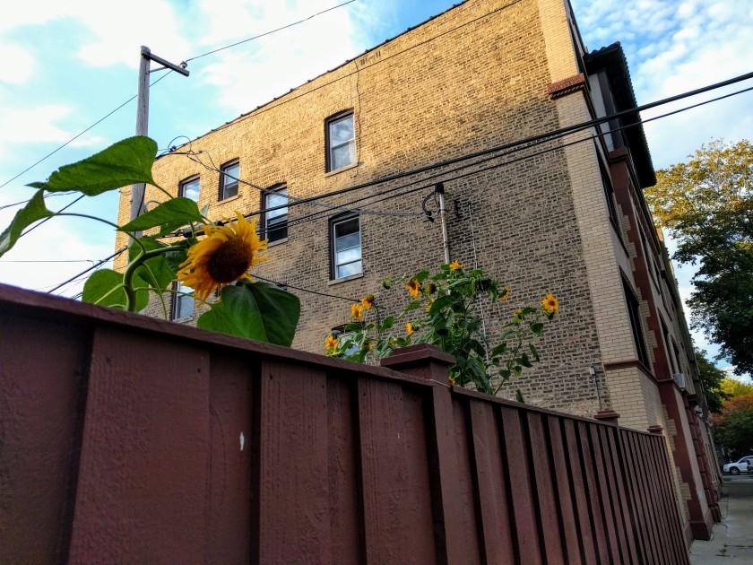 RP sunflowers blog