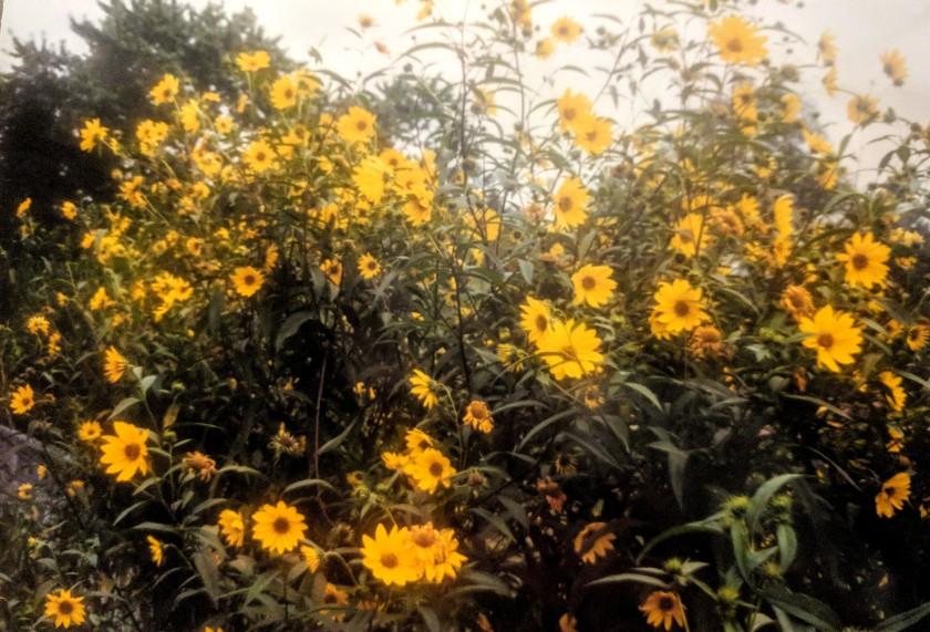 showy sunflower