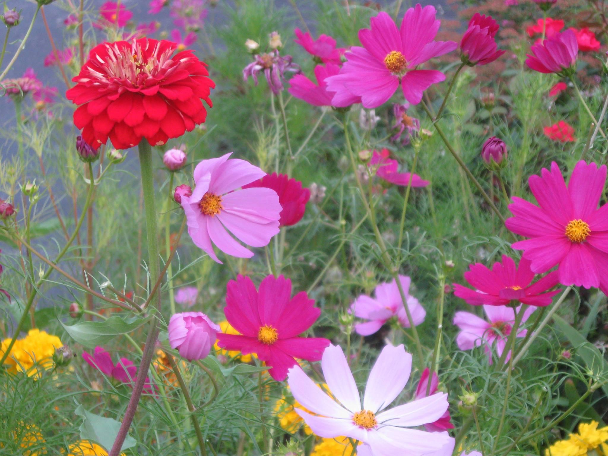 Helen cosmos flowers